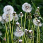 dandelions-924104_1920
