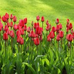 tulips-21620_1920
